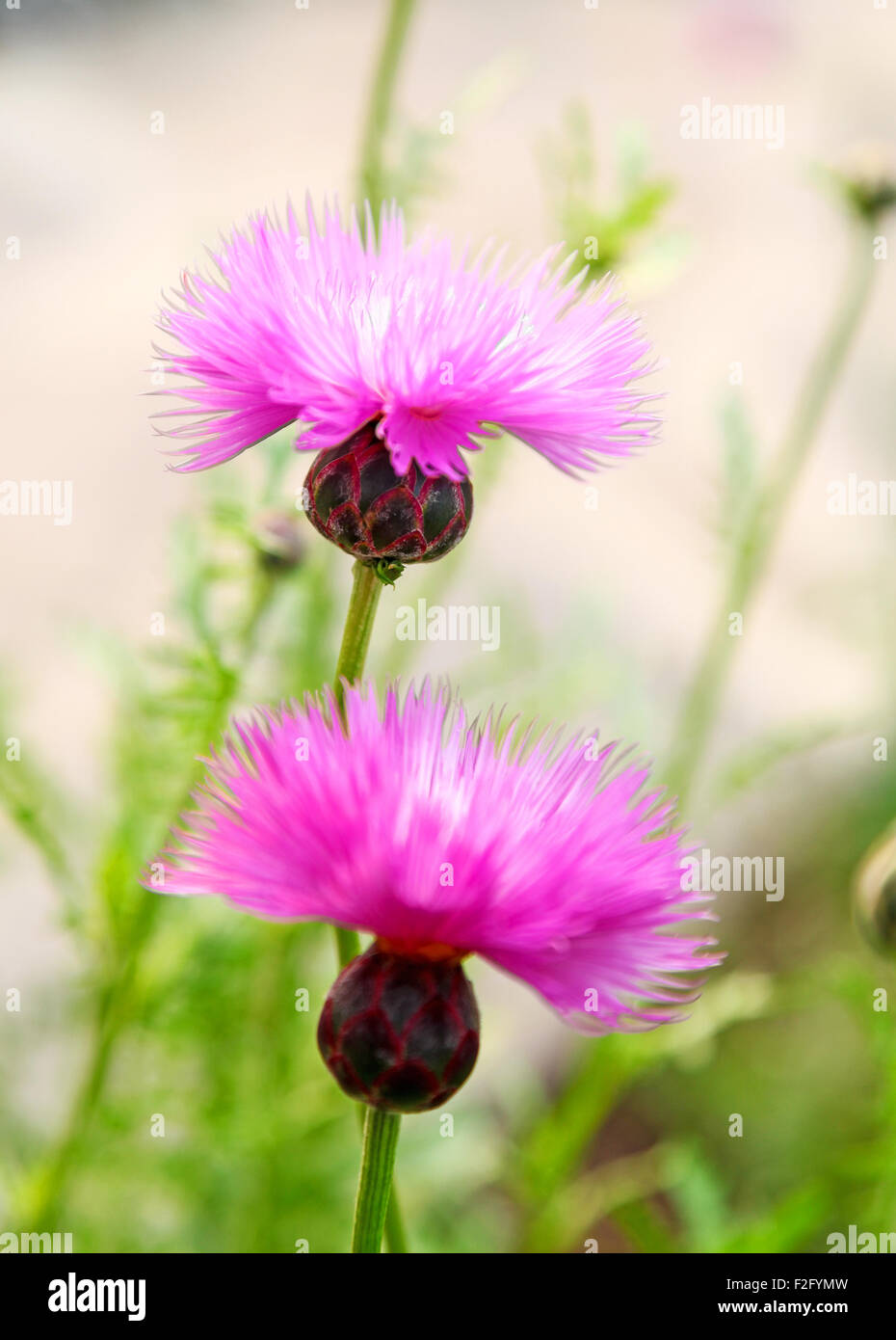Purple Pink Flowers Of Amberboa Moschata Common Name Sweet Sultan