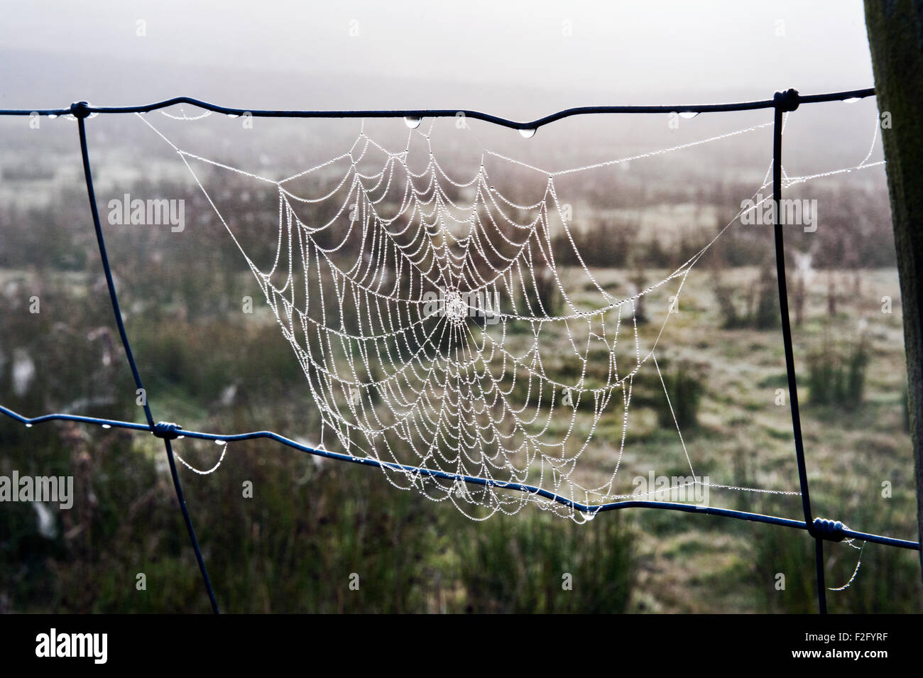 Cobweb with early morning dew, Settle, North Yorkshire - Stock Image