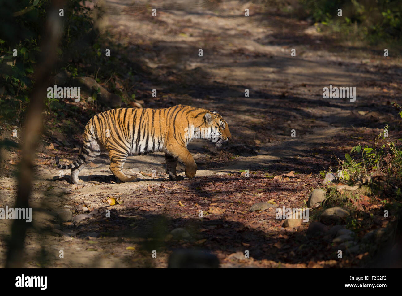 A Bengal Tiger prowling in the forest of Jim Corbett National Park, India. ( Panthera Tigris ) - Stock Image