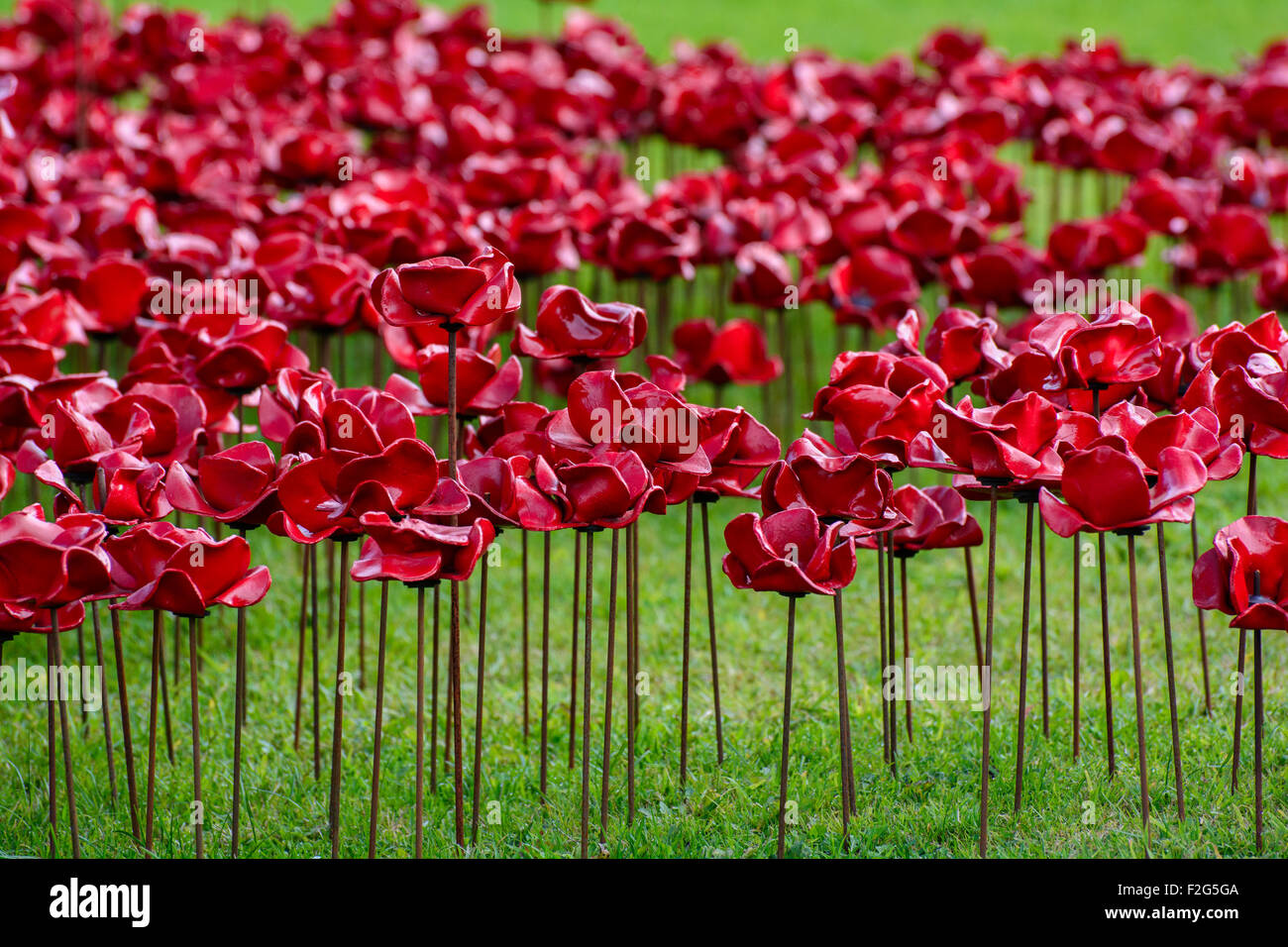 Weeping Window Poppies at Woodhorn - Stock Image