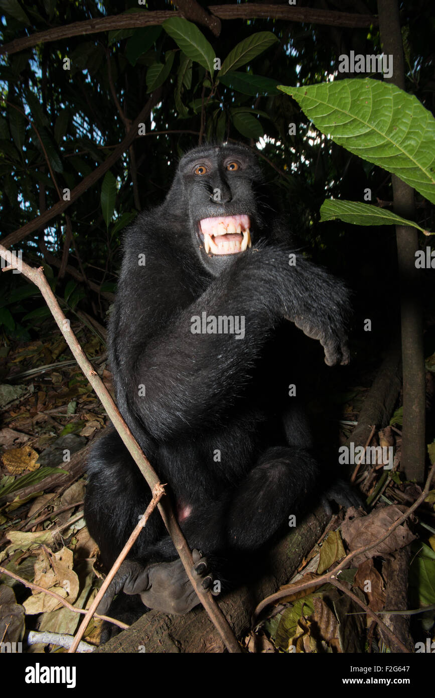 A Celebes black crested macaque from north sulawesi shows its teeth to to warn me that it is uncomfortable. - Stock Image