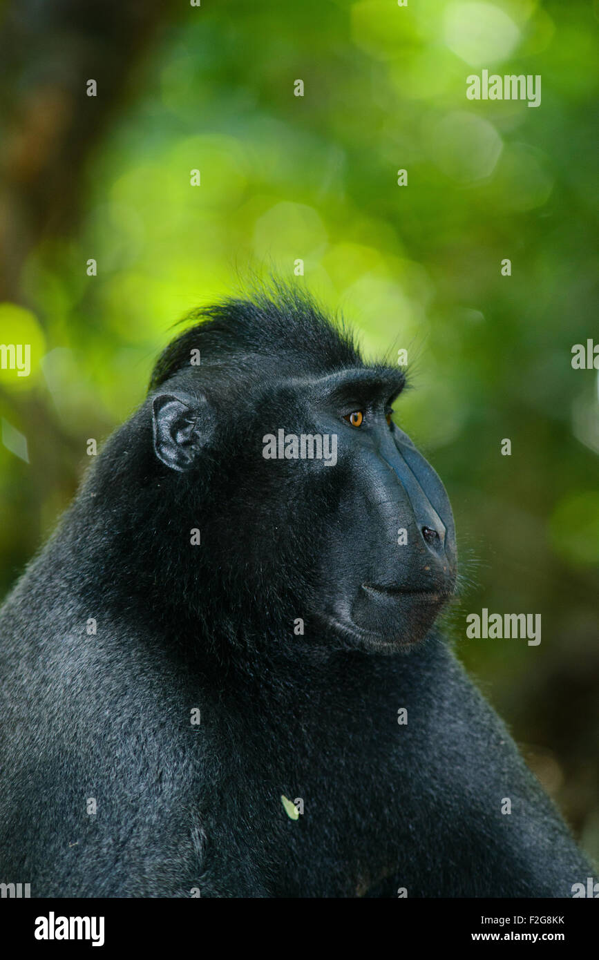 a Single black crested macaque also known as the celebes black macaque relaxes on the ground in the tropical forest - Stock Image
