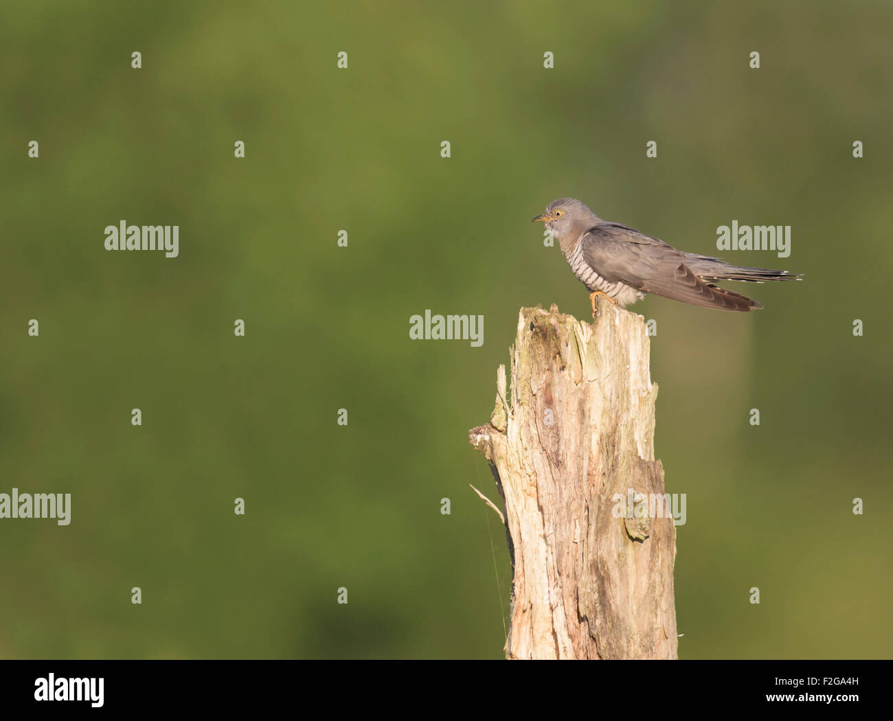 Cuckoo (Cuculus canorus) perched on tree stump - Stock Image