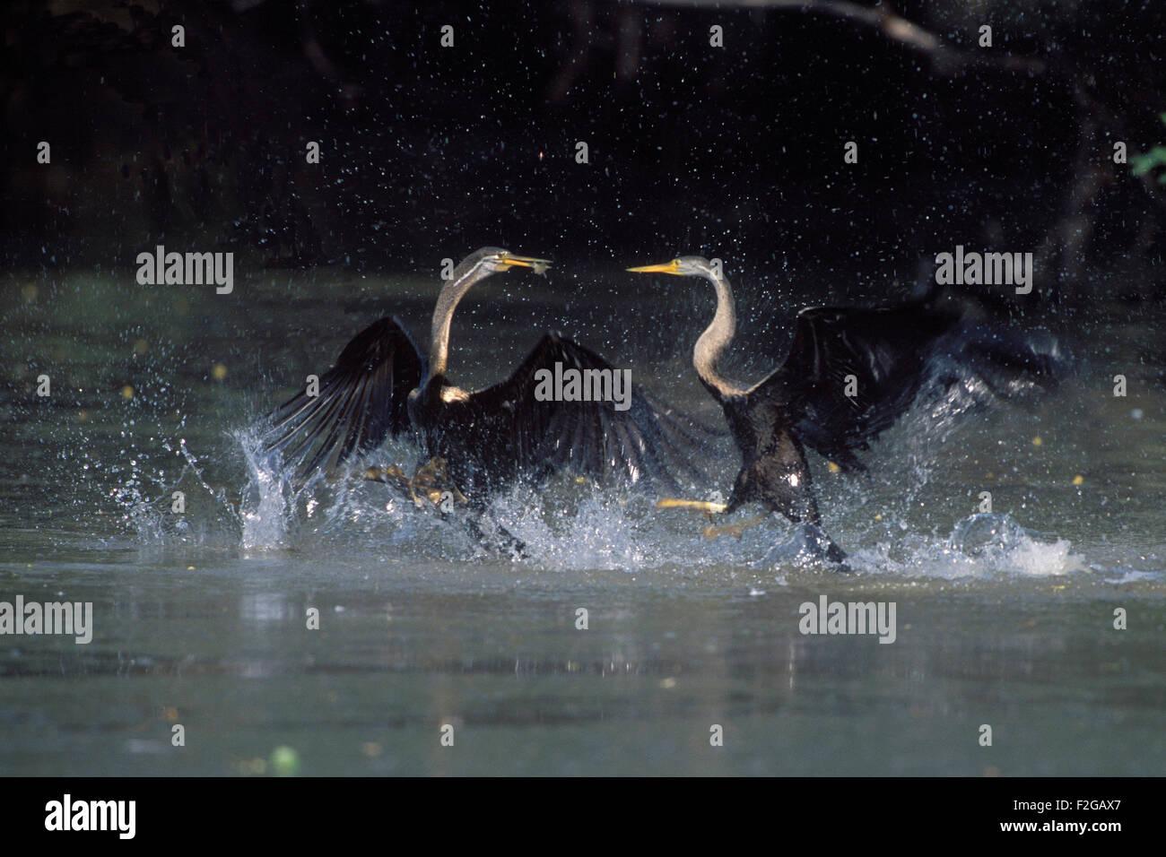 The image of Darter chasing ( Anhinga melanogaster) was taken in Keoladev national park-India - Stock Image