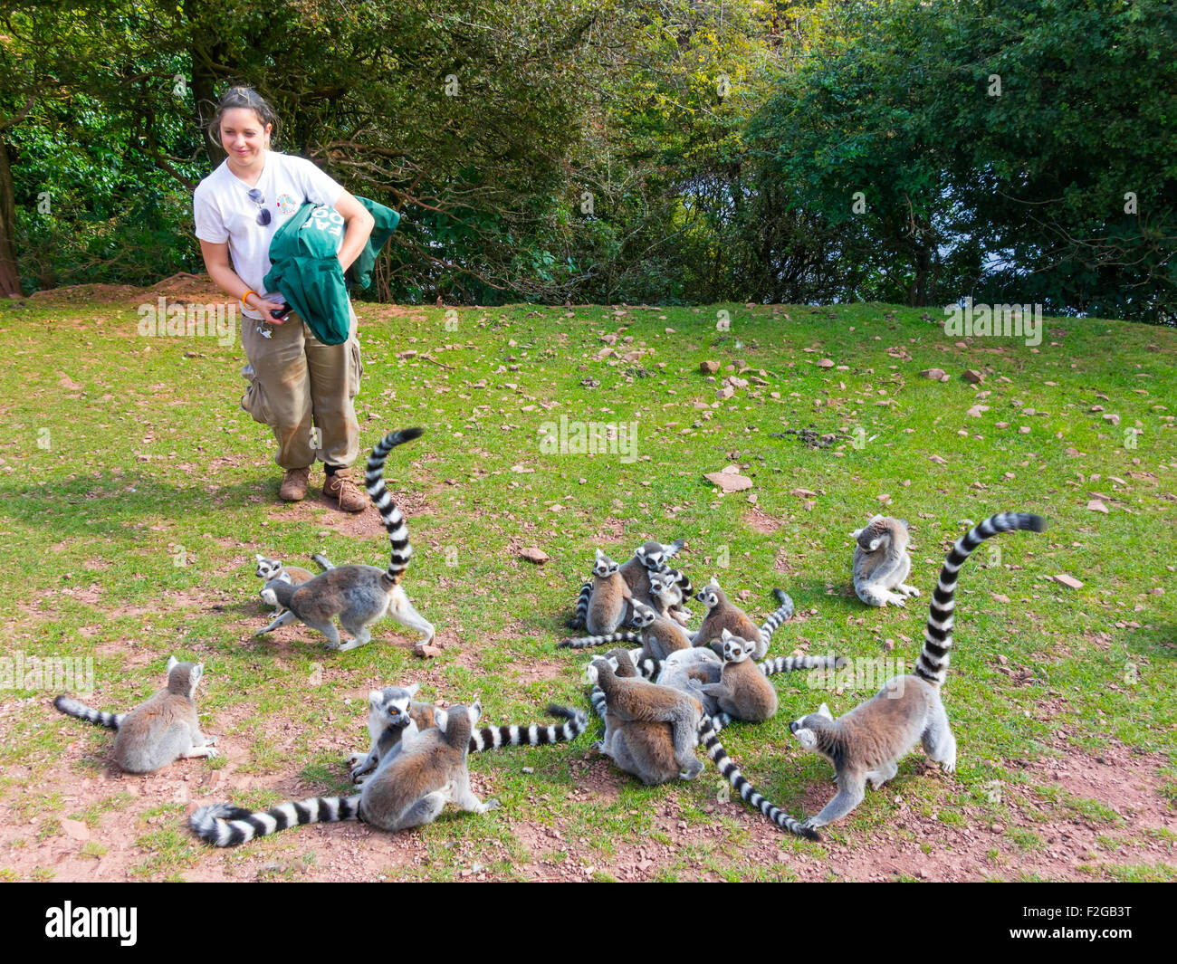 A woman Keeper giving a talk prior to feeding Ring Tailed Lemurs at South Lakes Zoo Dalton Cumbria UK - Stock Image