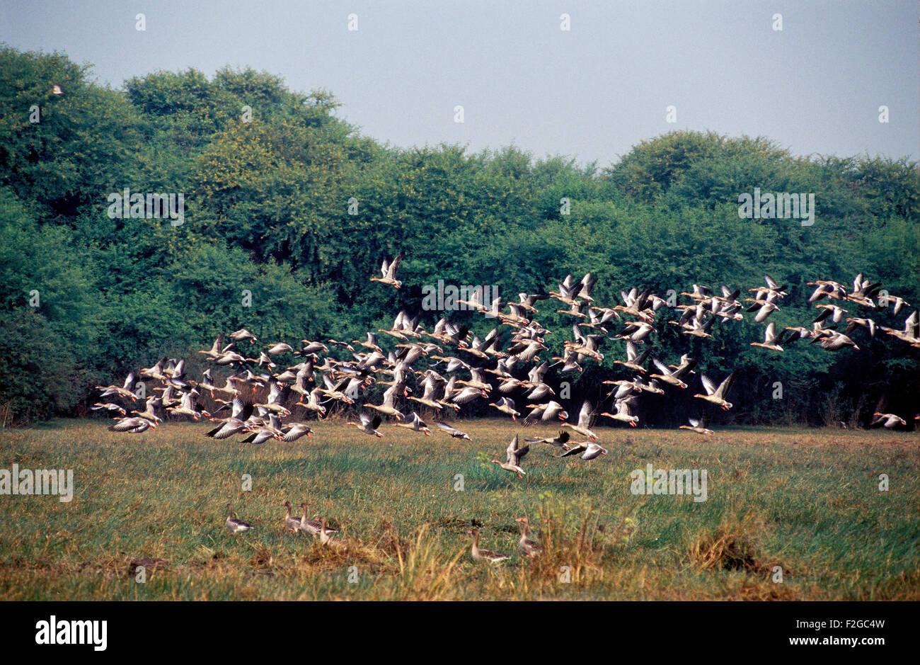 The image of  Grayleg geese ( Anser Anser ) was taken in Keoladev national park-India - Stock Image