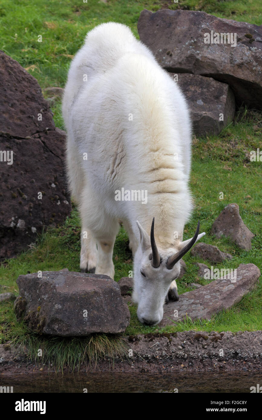 ROcky Mountain Goat Grazing by the Stream Stock Photo
