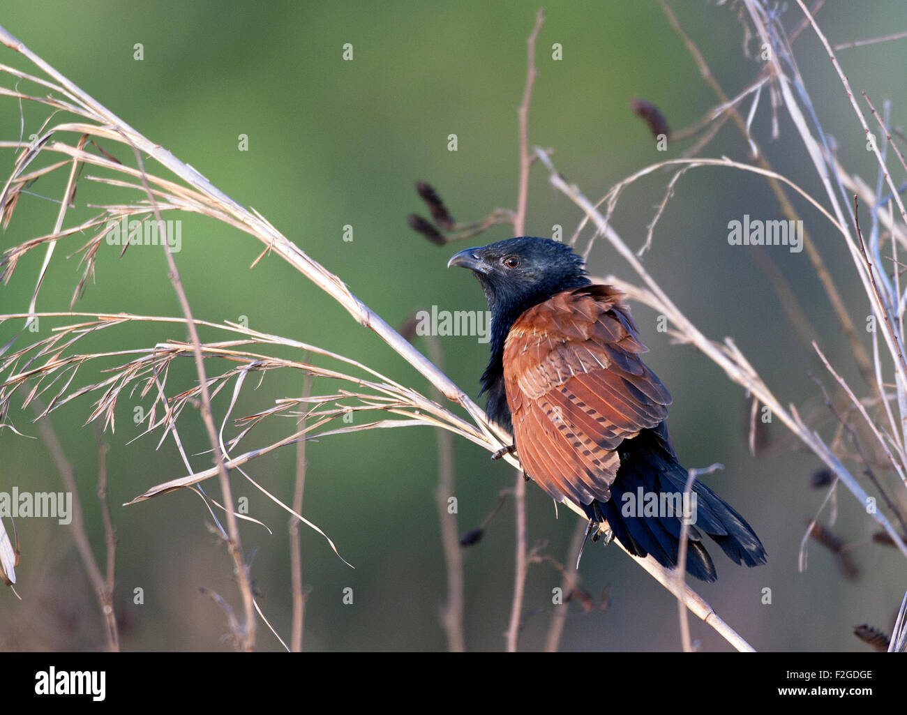 The image of Lesser Coucal ( Centropus bengalensis) was shot in Corbett national park -India - Stock Image