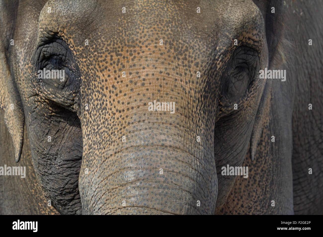 Asian Elephant Closeup Face Portrait Abtract Background - Stock Image