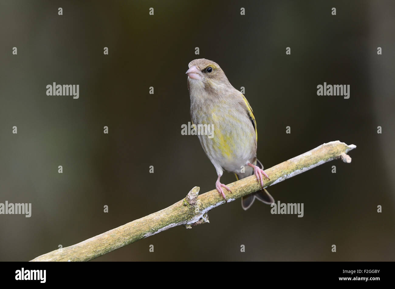 One greenfinch on a twig UK - Stock Image