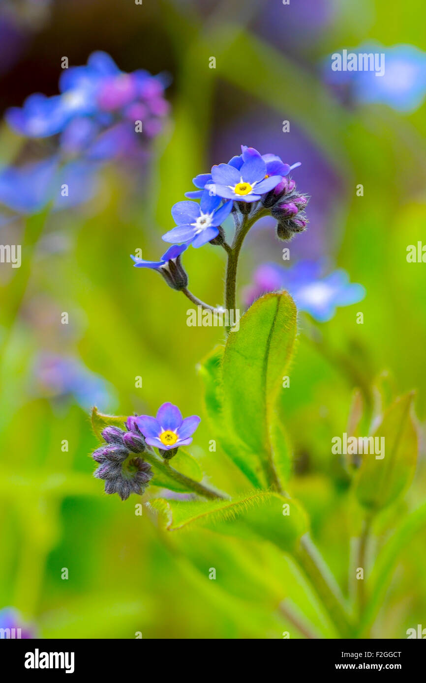 Forget-me-not flowers. Stock Photo