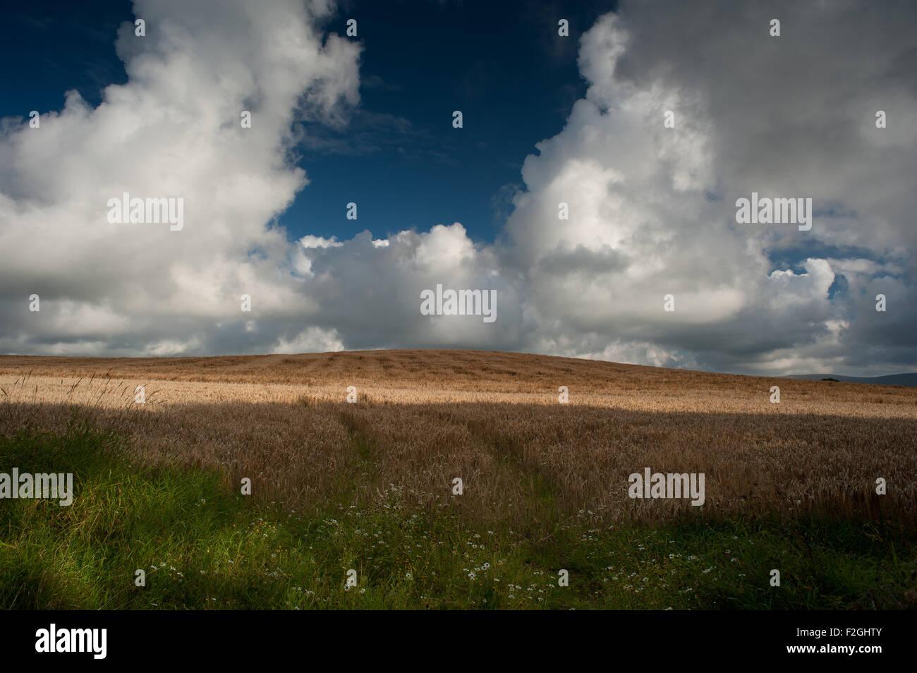 Cumulonimbus clouds over wheat corn field - Stock Image