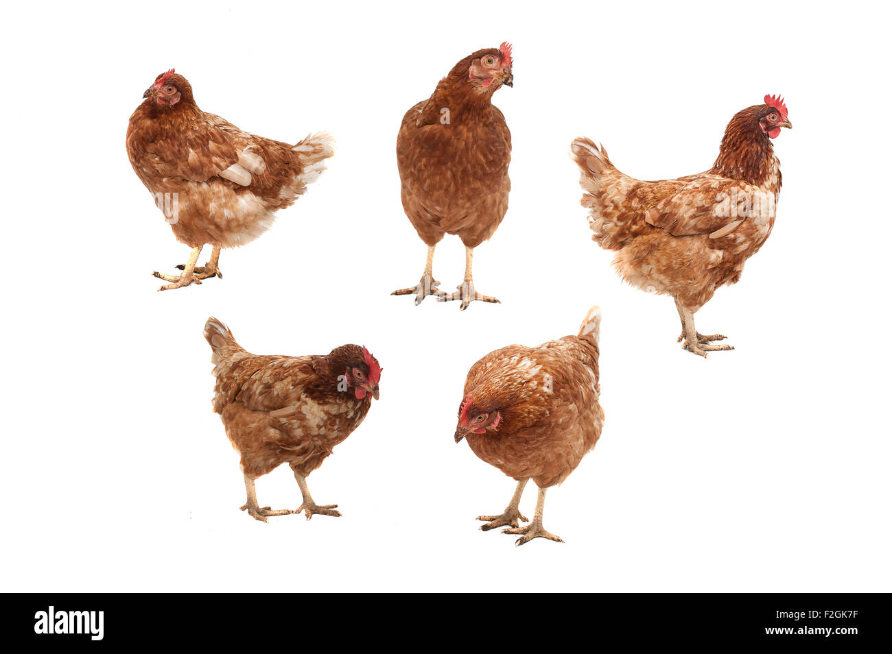 Five chickens in different poses on a white background. - Stock Image