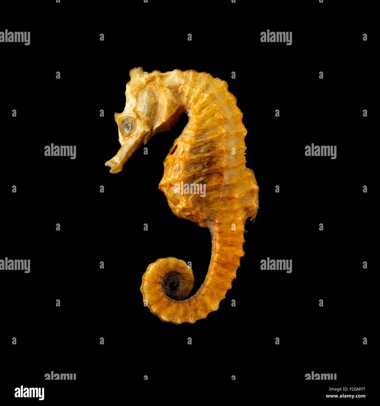 Seahorse against black background - Stock Image
