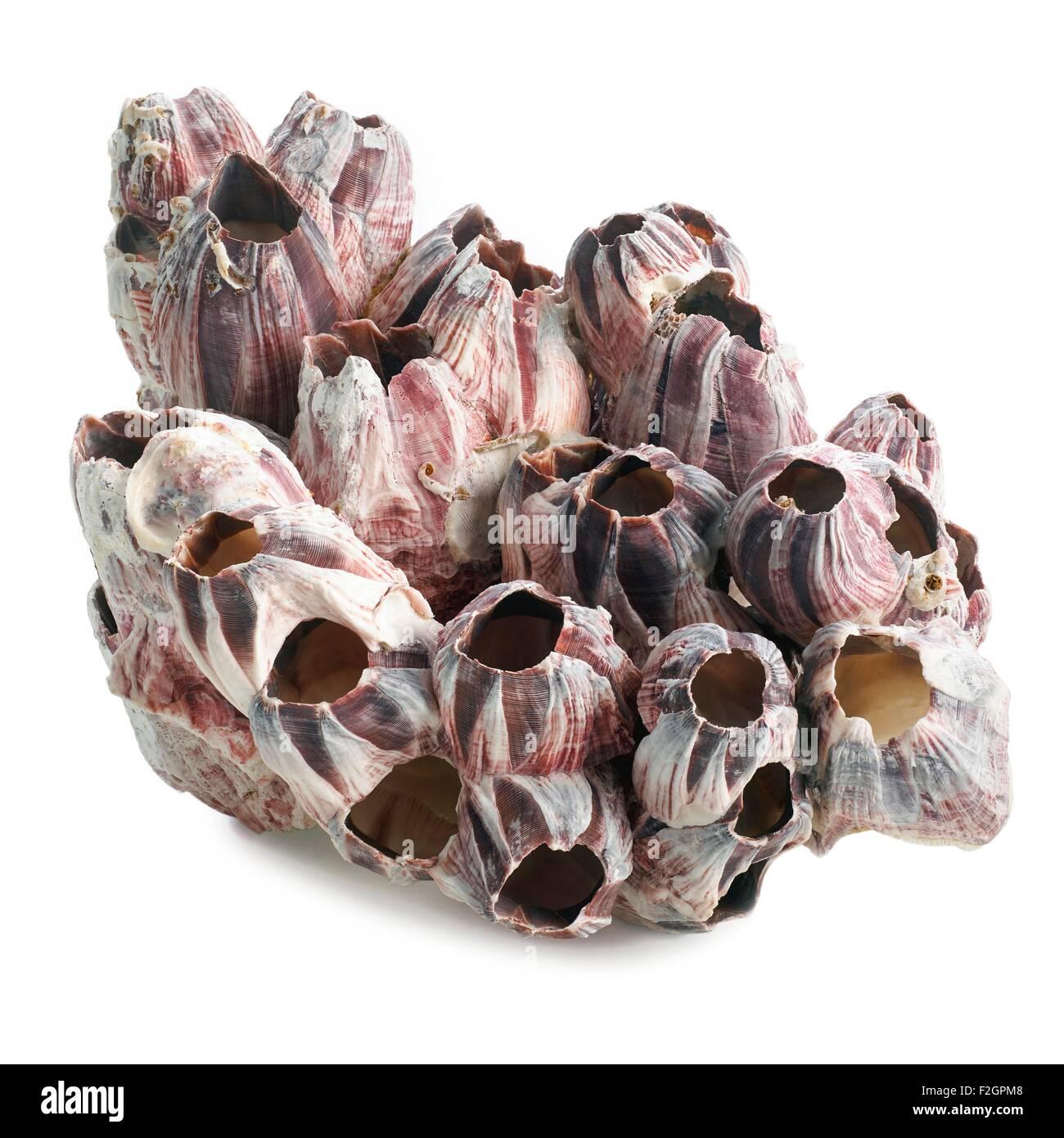 Titan acorn barnacles - Stock Image