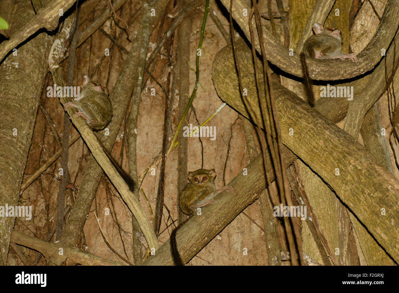 Three tarsius, tarsier in the tree where they live in the forest of Tangkoko National Park in North Sulawesi - Indonesia - Stock Image
