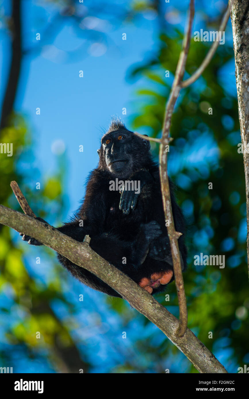 a black crested macaque from North Sulawesi take a rest up on top of a tree with the blue sky as background - Stock Image