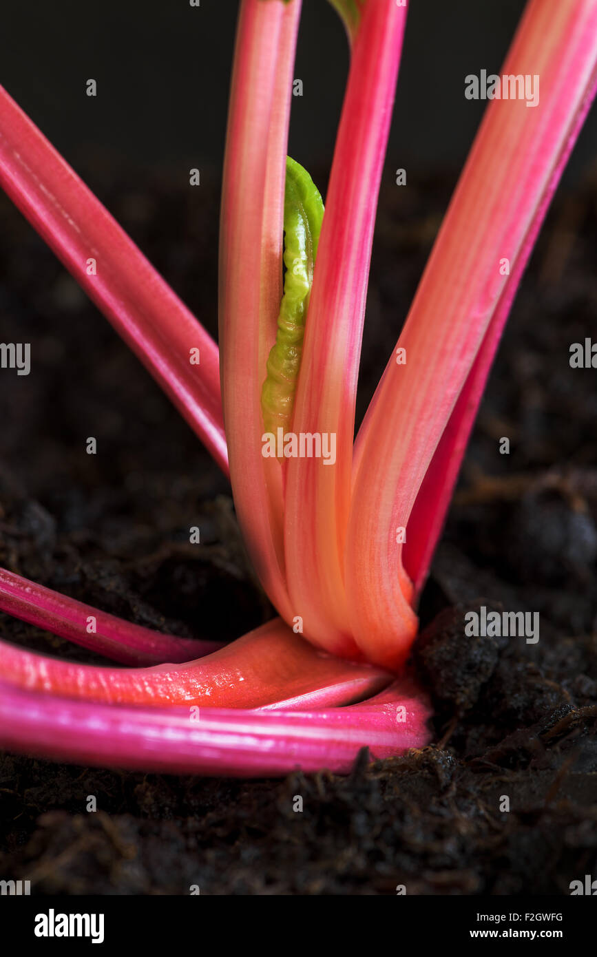 Red chard leaf vegetables Veggi health healthy fit fitness grow silverbeet Beta vulgaris cicla thrive earth, potting, - Stock Image
