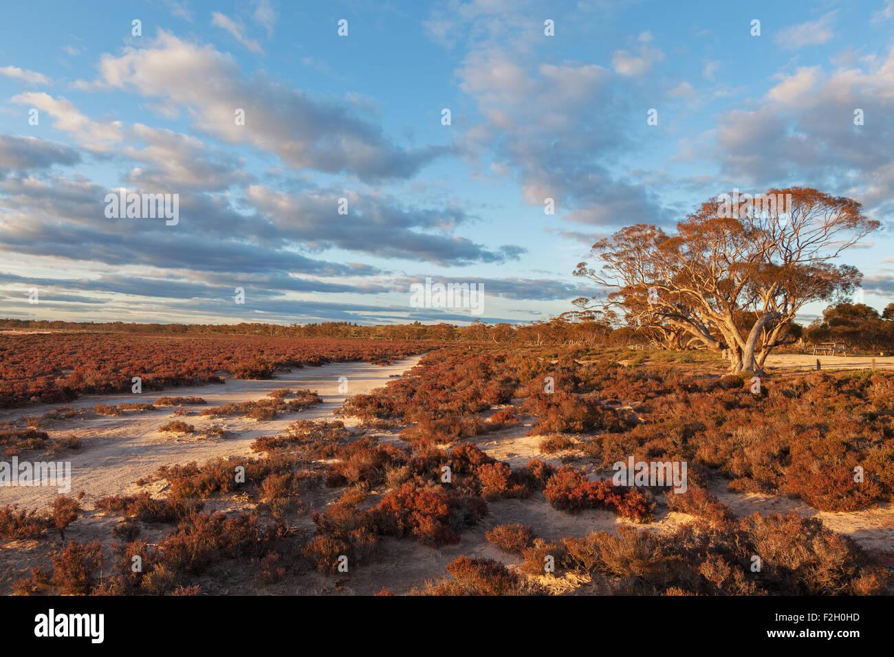 Native Australian desert shrubs landscape at sunset. Murray-Sunset national park, Australia. - Stock Image
