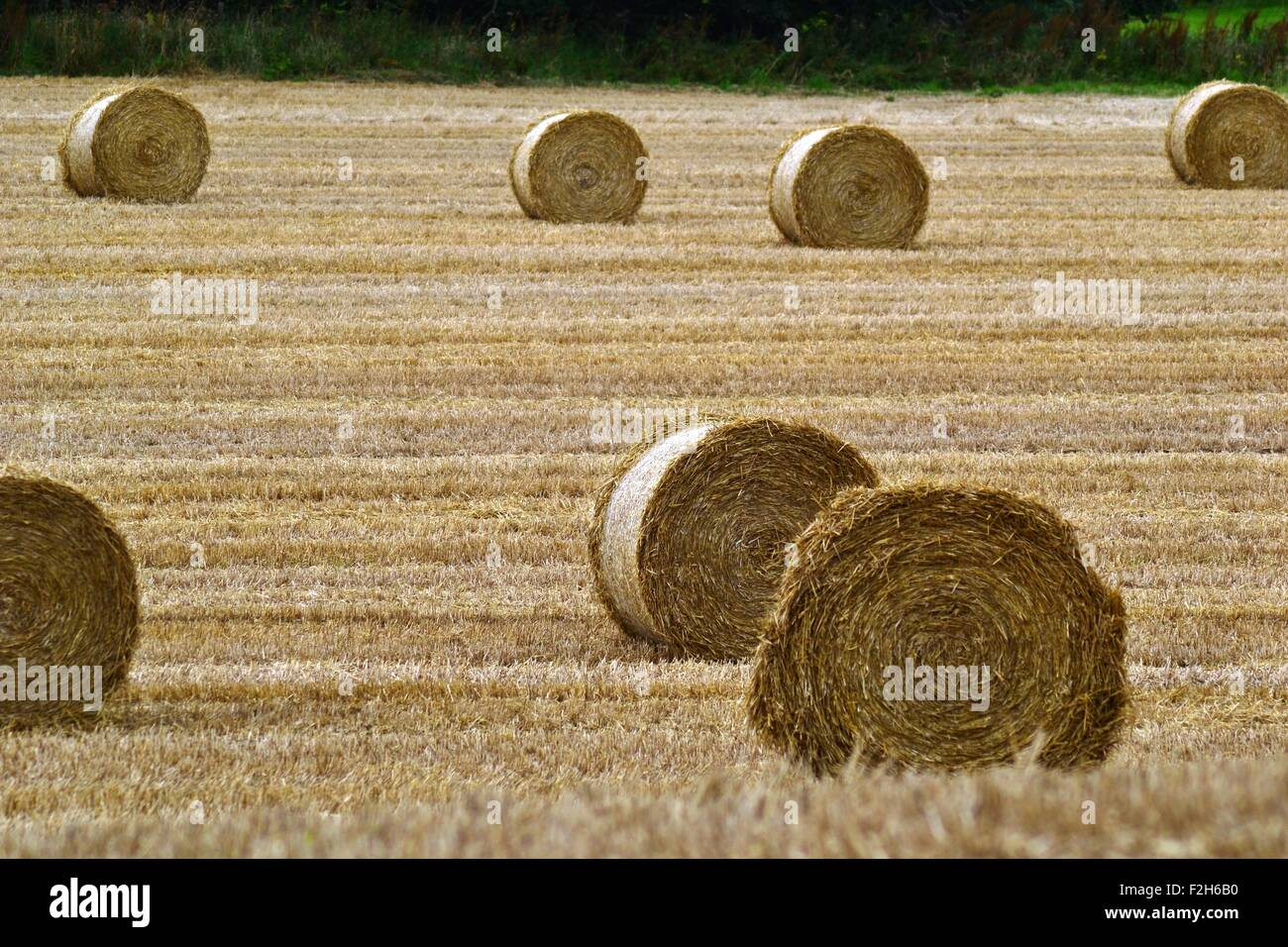Haybales in a hayfield - Stock Image