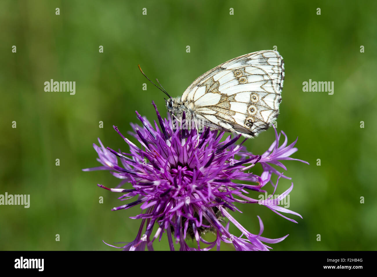 Marbled white butterfly (melanargia galathea) on greater knapweed flower (Centaurea scabiosa), UK - Stock Image