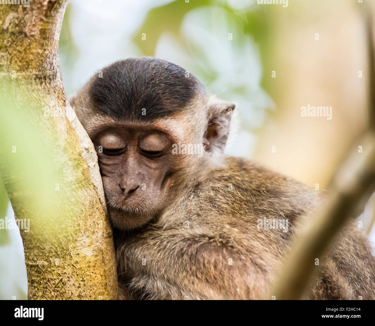 Young long tailed Macaque sleeping in a tree - Stock Image