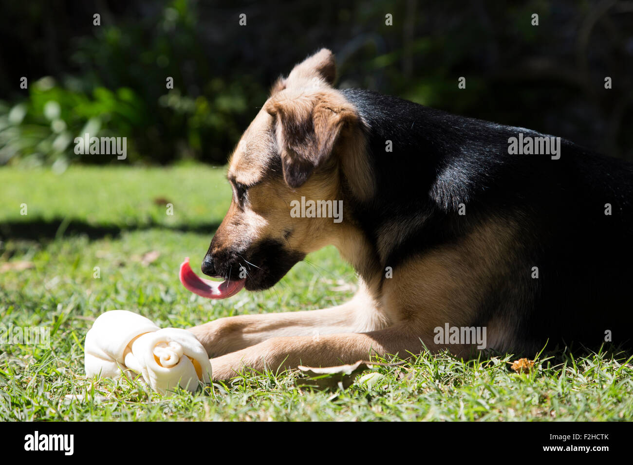 Dog with a rawhide bone, outside at the grass - Stock Image
