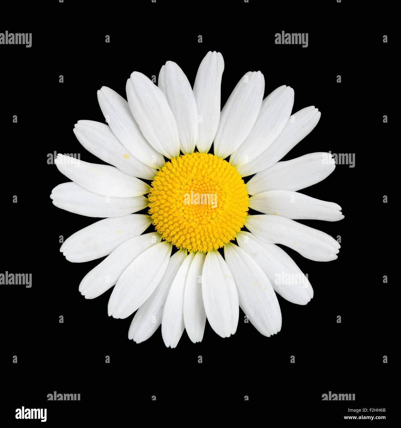 Daisy  chamomile flower on black background macro - Stock Image