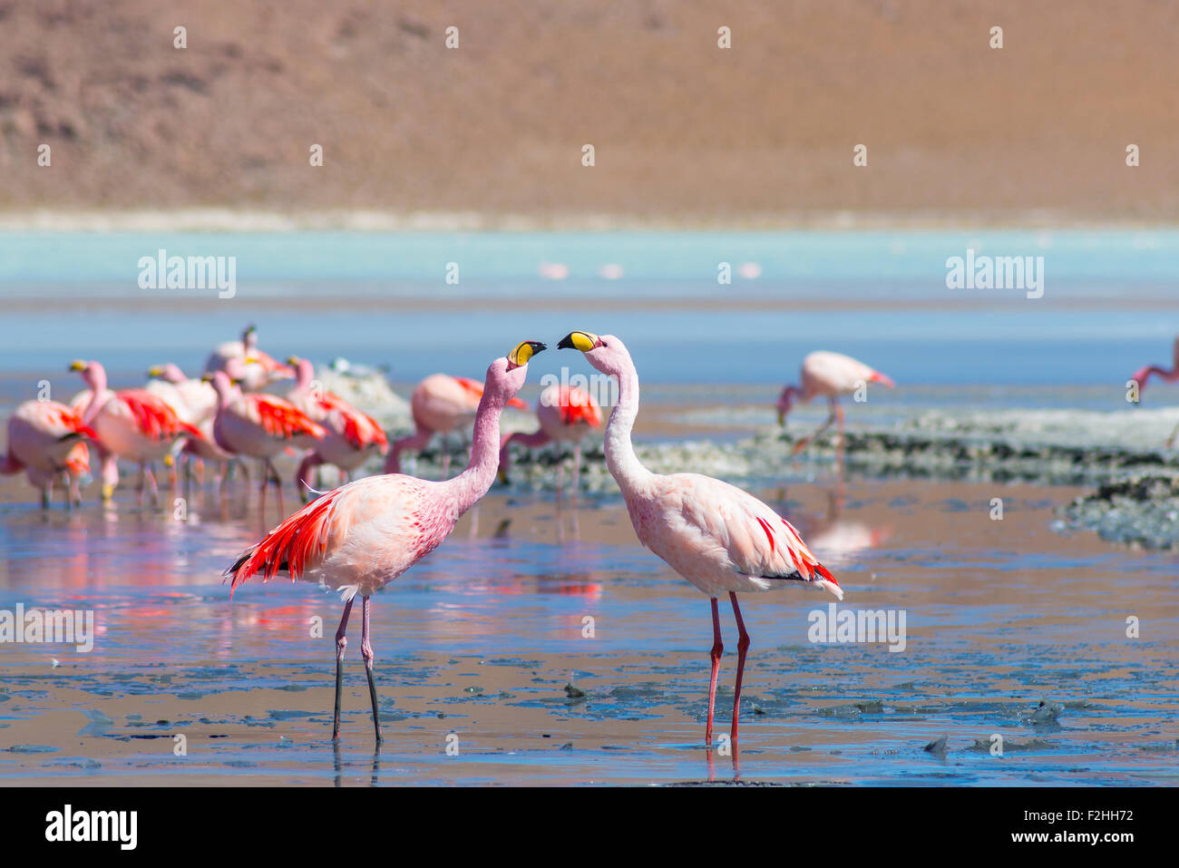 Two pink flamingos facing each other at 'Laguna Colorada' (Multicolored Salty Lake), among the most important - Stock Image