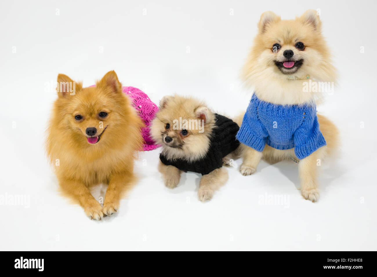 Pomeranian Family at Studio - Stock Image