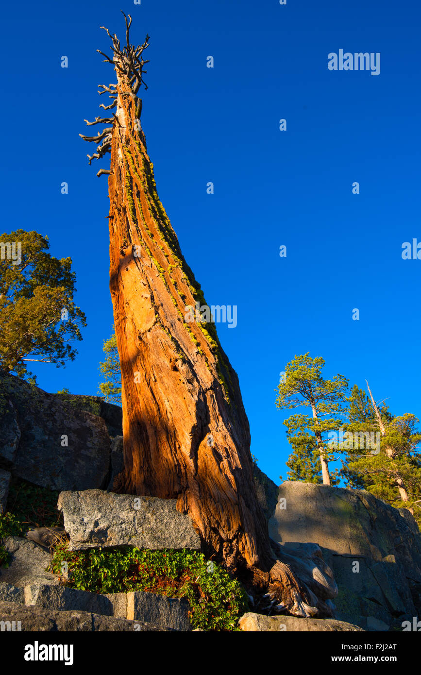 Low angle view of a dead tree, Lake Tahoe, California, USA - Stock Image