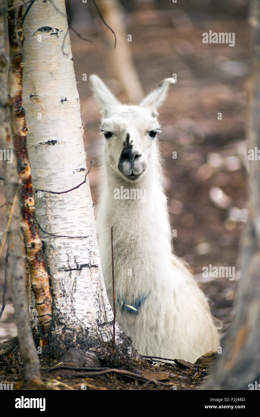 A unique looking Llama pauses to look at the camera after taking the morning feeding - Stock Image
