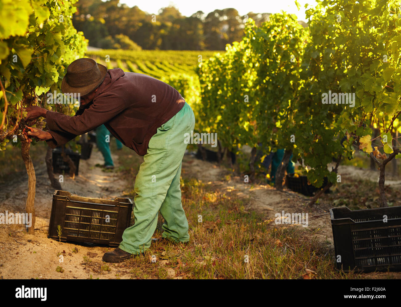 African farmer harvesting grapes in vineyard. Man pruning grapes from vine and collecting in plastic bins. - Stock Image
