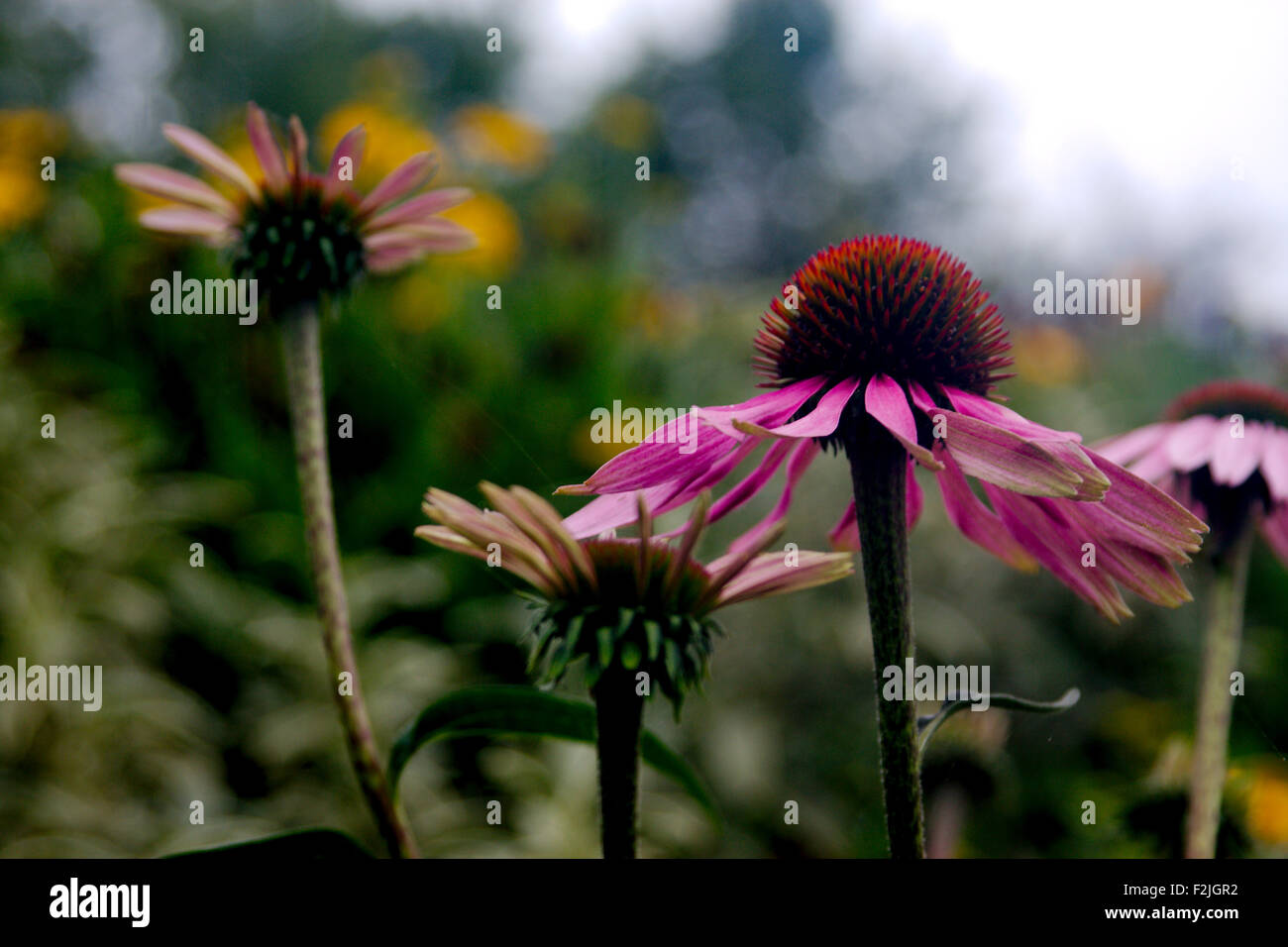 Close-up at eye level of a group of pale purple coneflowers, Echinacea pallida, close-up against a blurred background - Stock Image