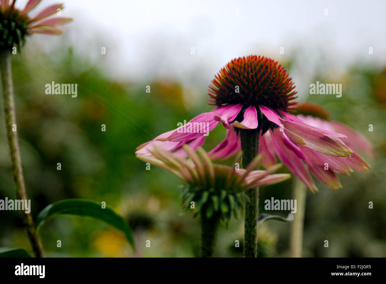 Close-up of a pale purple coneflower, Echinacea pallida, close-up against a blurred background - Stock Image
