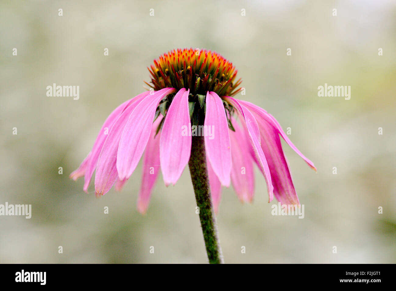 Lone, singular, pale purple coneflower, Echinacea pallida, close-up against a pale blurred background - Stock Image
