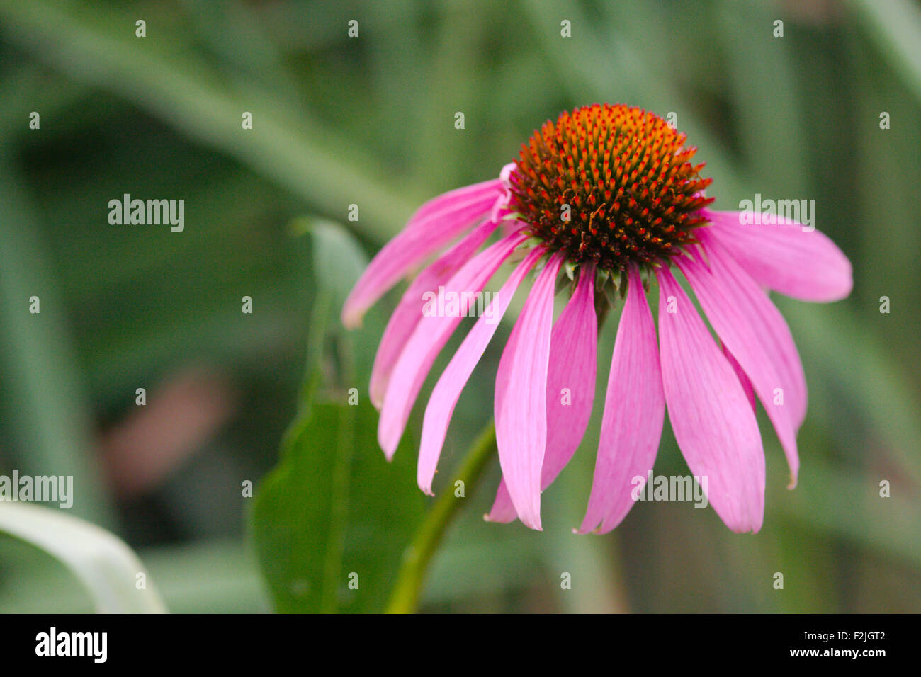 Lone, singular, pale purple coneflower, Echinacea pallida, close-up against a dark blurred background - Stock Image