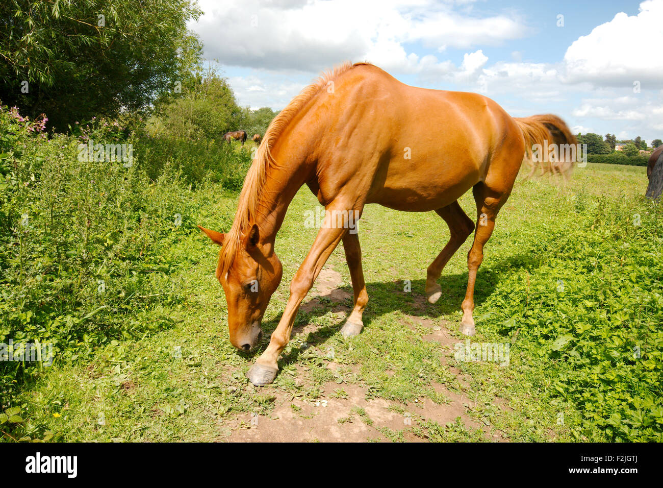 Strawberry Roan Stock Photos & Strawberry Roan Stock ... - photo#48