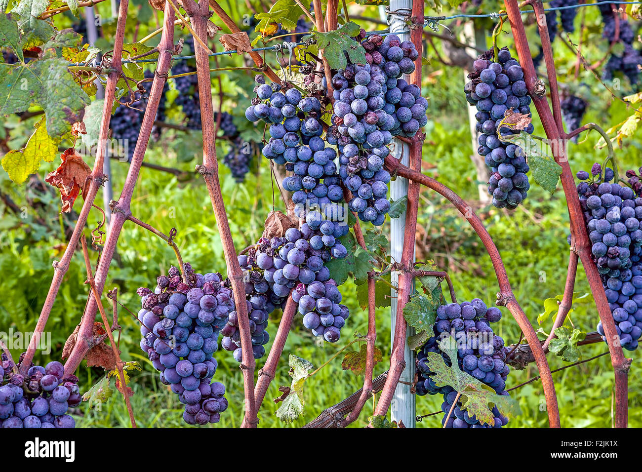 Bunches of ripe grapes on vineyards of Piedmont, Northern Italy. - Stock Image