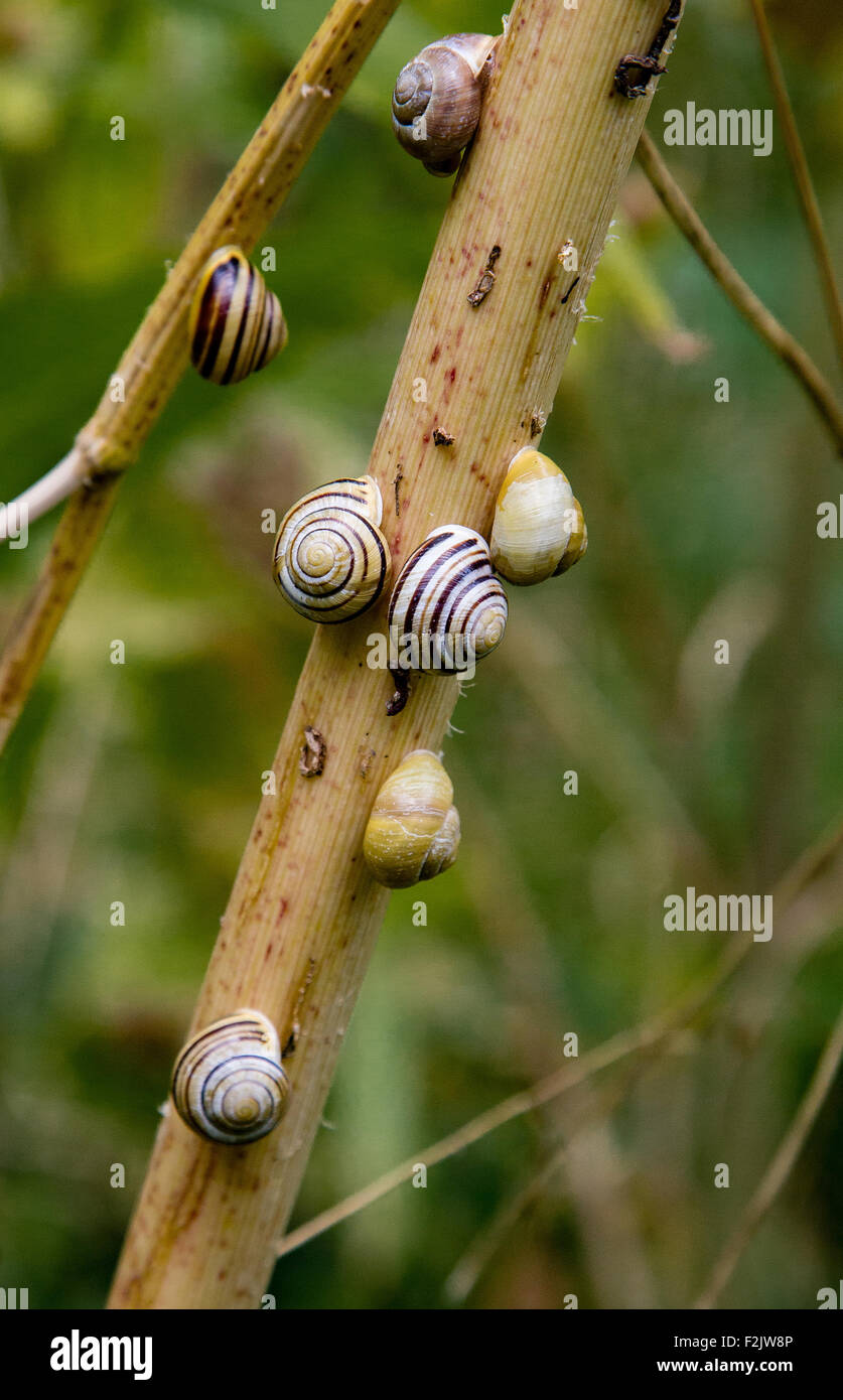 Small colony of White Lipped garden snails Cepaea hortensis clustered around shrub stems - Stock Image