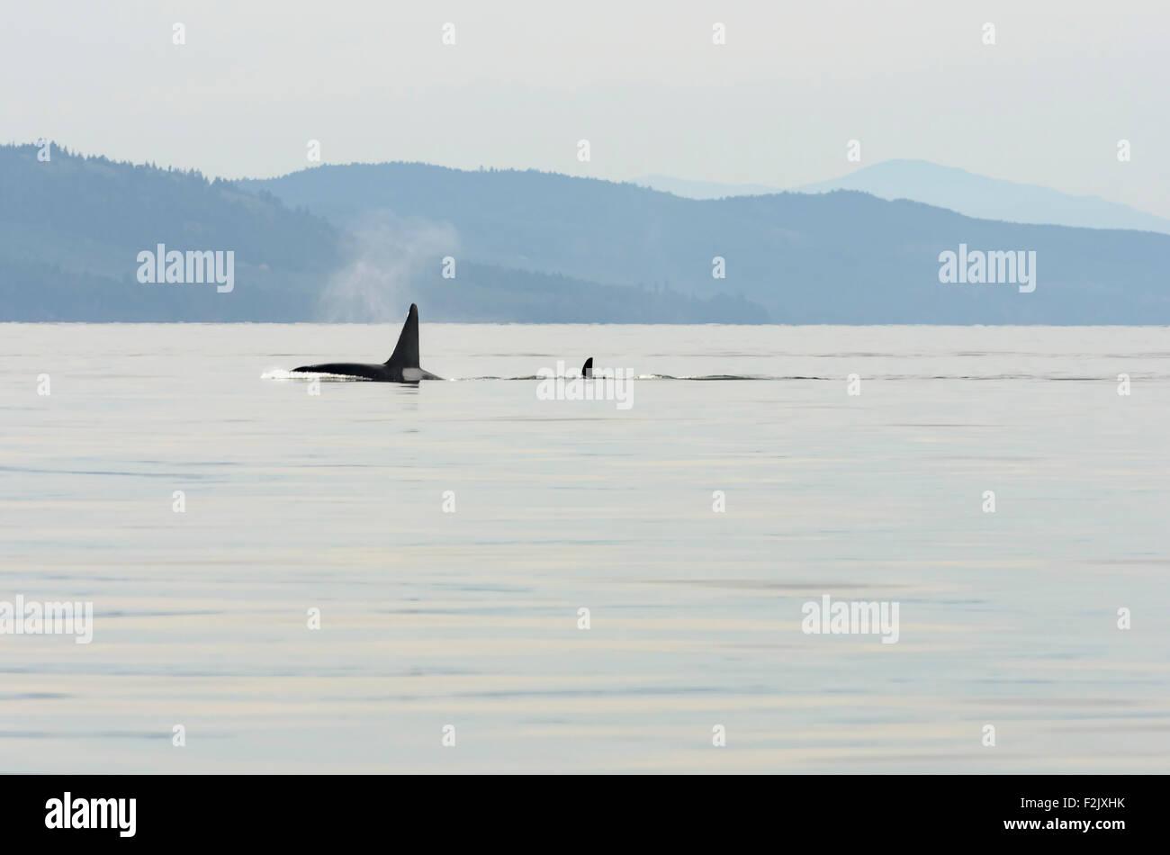 Transient or Bigg's killer whales, Orcinus orca, British Columbia, Canada, Pacific - Stock Image