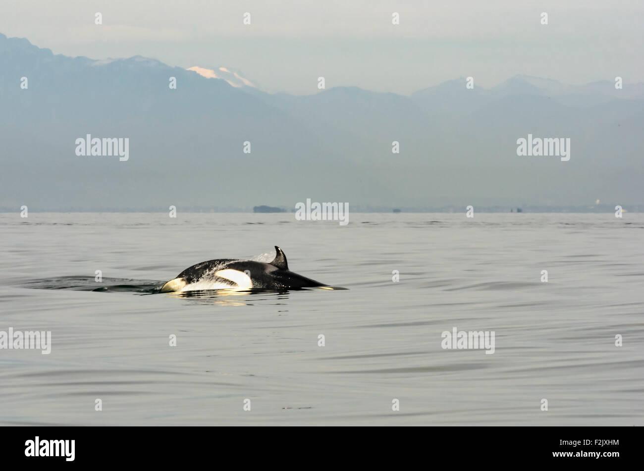 Transient or Bigg's killer whale, Orcinus orca, British Columbia, Canada, Pacific - Stock Image