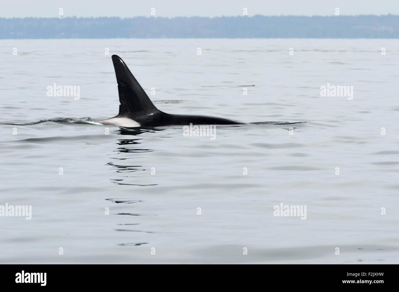 male Transient or Bigg's killer whale, Orcinus orca, British Columbia, Canada, Pacific - Stock Image