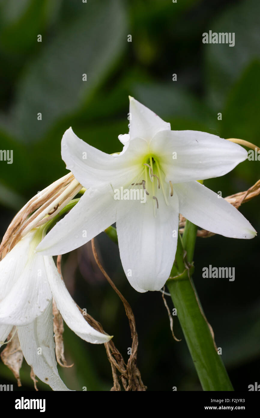 Flower in the summer head of the hybrid cape lily, Crinum x powellii 'Album' Stock Photo