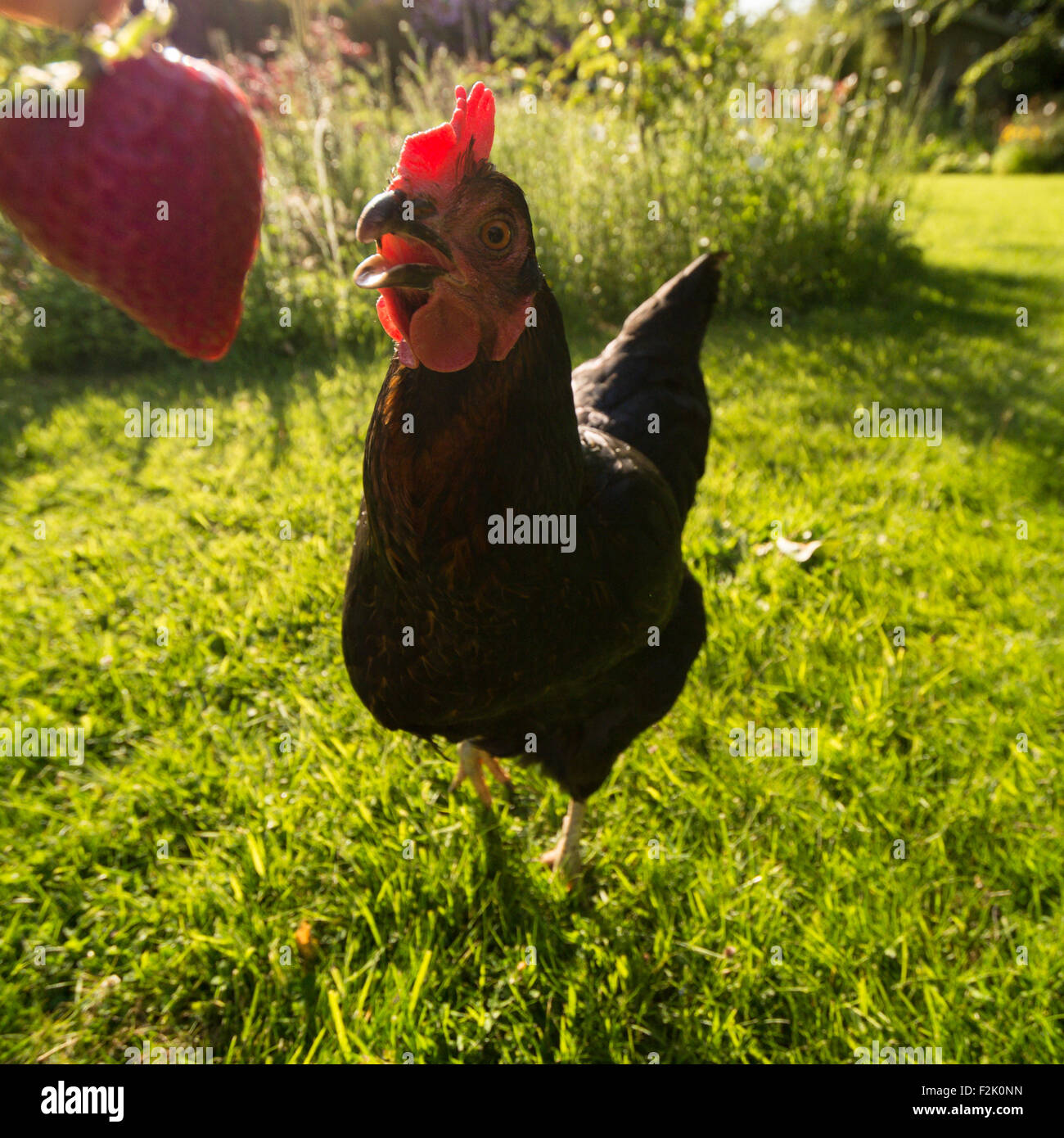 funny close up wide angle portrait of black pet chicken eating a strawberry in garden - Stock Image