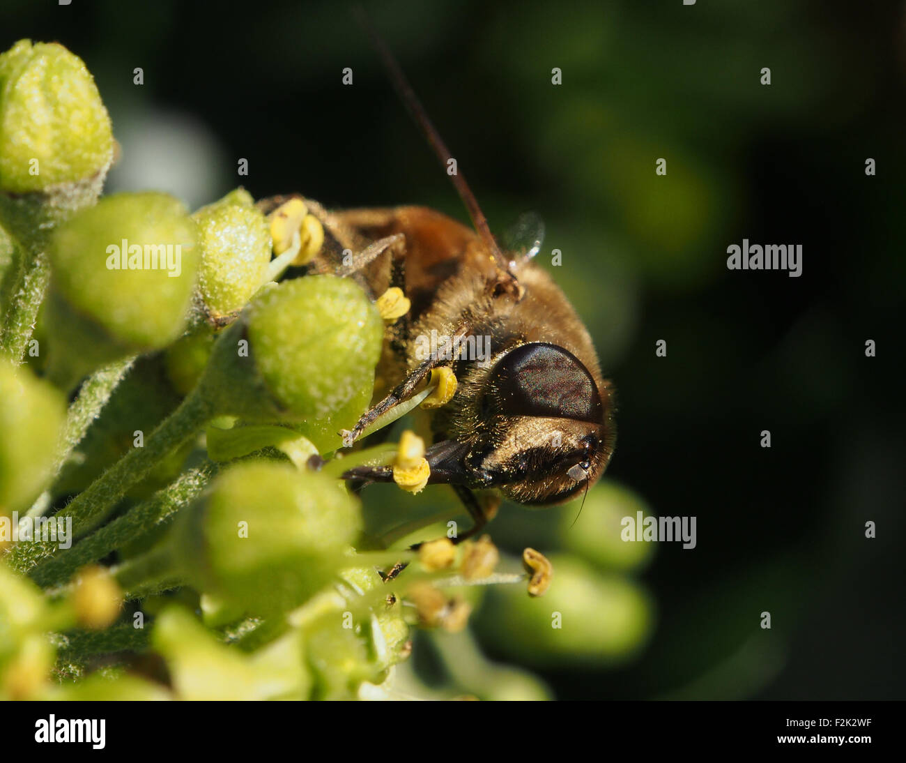 A honey bee nectaring on a plant in an English Garden Stock Photo