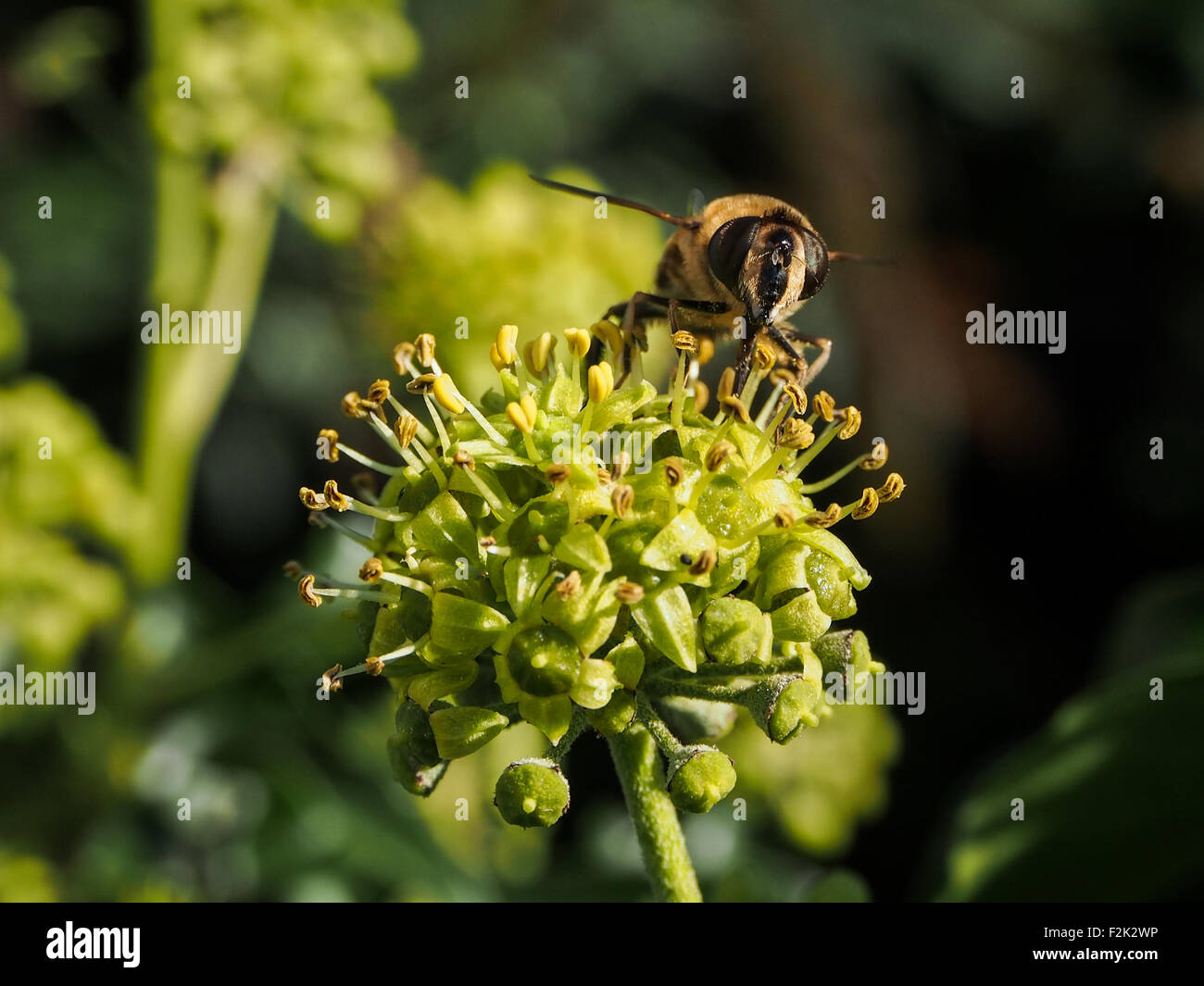 A honey bee nectaring on a plant in an English Garden - Stock Image