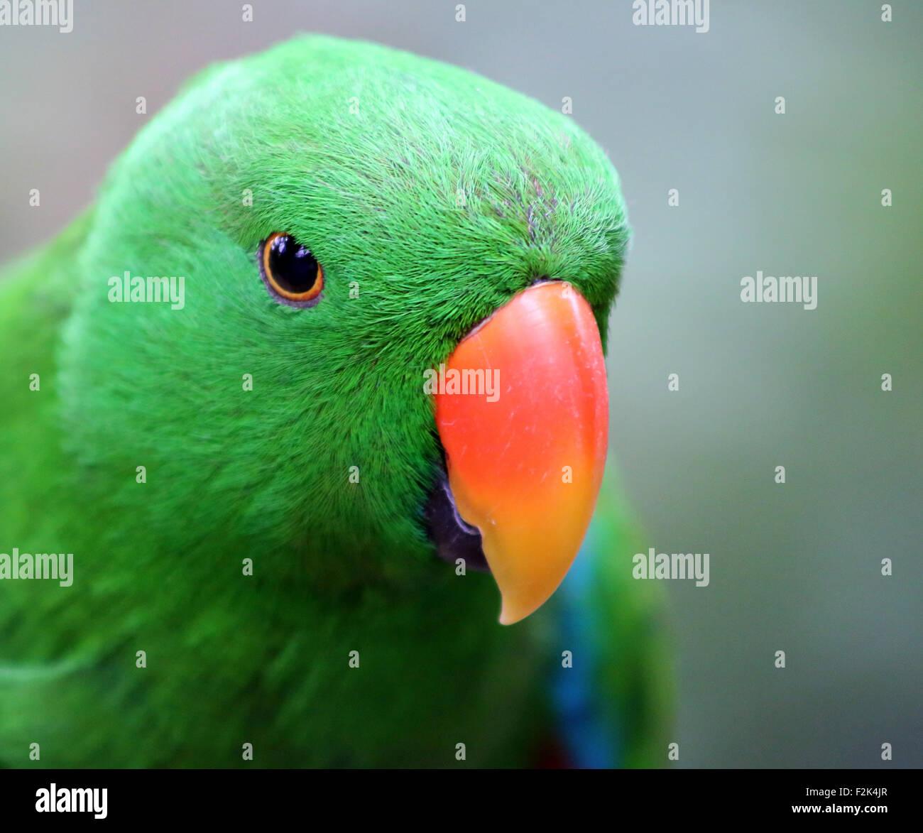 Eclectus Roratus Parrot - Stock Image