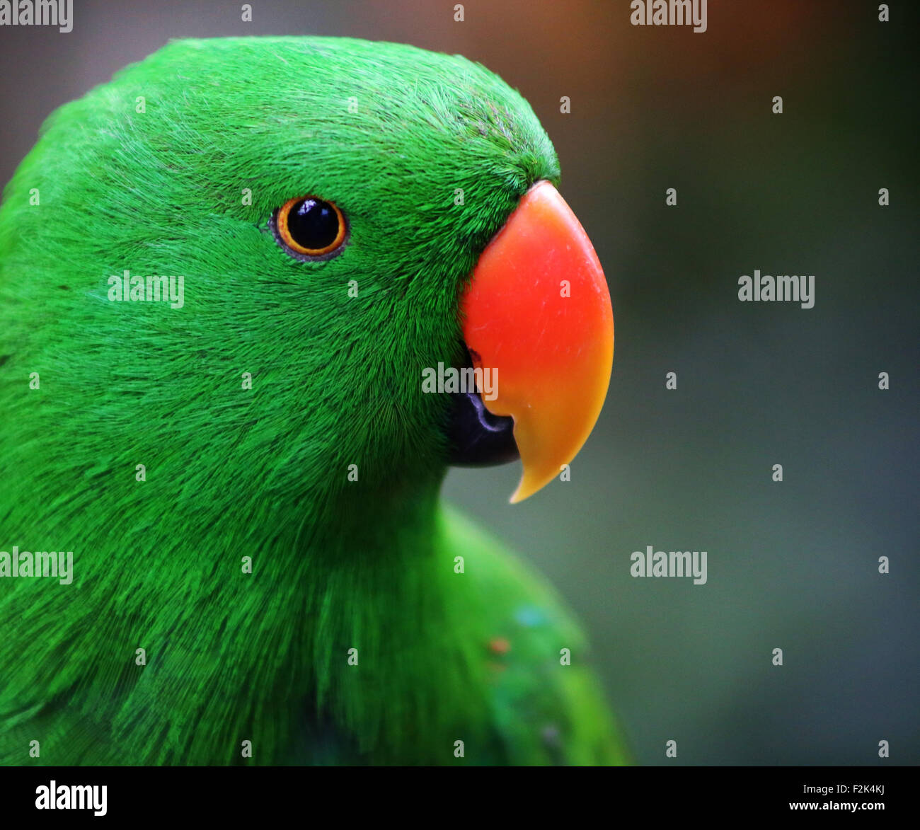 Eclectus Parrot - Stock Image