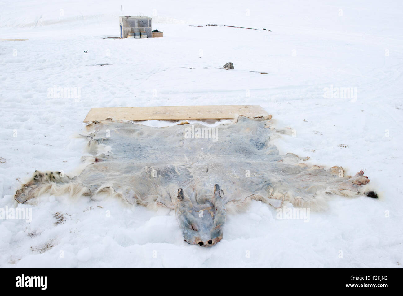 Stretching Polar Bear (Ursus maritimes) hide, fur, drying in the snow after hunt, Baffin bay, Nunavut, Canada. - Stock Image